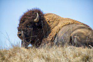 bison-697420_640