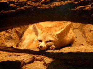 fennec-fox-77048_640