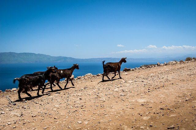 goats-497910_640