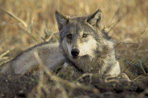 wolf-702820_640